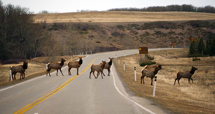 A image of a heard of Elk crossing the highway in Waterton